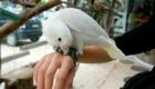 a-inteligencia-e-carisma-das-aves-psitaciformes_10
