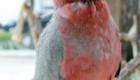 a-inteligencia-e-carisma-das-aves-psitaciformes_3