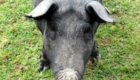 porco-nao-senhor-porco_4