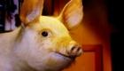 porco-nao-senhor-porco_5
