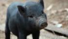 porco-nao-senhor-porco_8