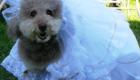 Divulgação Fest Cães & Pets;;A poodle Rebeca não fez feio com o seu vestido