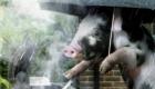 porquinhos-na-cozinha_5