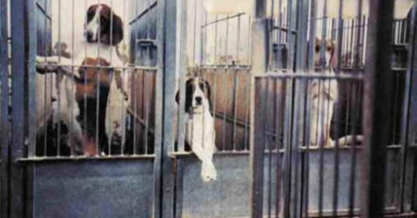 Cães destinados ao uso em laboratório - Crédito: Animals Voice
