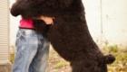 cachorro-tamanho-da-dona