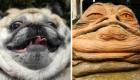 O Pug que parece o Jabba the Hut, de Star Wars.