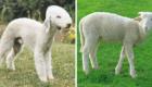 """""""Oi, eu sou um Terrier, mas pode me chamar de 'ovelha'."""""""