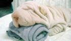 Esse Shar Pei é tão fofo que até parece uma toalha.
