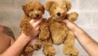 É um cãozinho ou um urso de pelúcia?