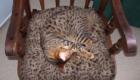 gatos-camuflagem-cadeira