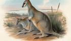 Wallaby-toolache: A pele deste canguru era muito apreciada, o que levou a espécie originária da Austrália à extinção na década de 40.