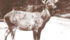 Cervo de Schomburgk: A caça foi também fatal para este animal, que habitava a Tailândia. Desapareceu por volta de 1938.