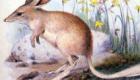 Bilby-pequeno: Descoberto no final do século XIX, a passagem pela Terra não durou muito mais – acabou sendo extinto nos anos 50, por ação de outros animais, como a raposa e o gato que o caçavam, ou pela competição com coelhos, por exemplo, por comida. Habitavam a Austrália.