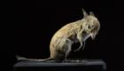 Bandicoot-pés-porco: Marsupial originário do interior da Austrália, desapareceu nos anos 50, mas a causa de extinção permanece indefinida, uma vez que os relatos dos próprios habitantes afirmam que, mesmo antes da colonização europeia, o animal já era raro.