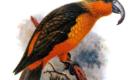 Norfolk Kaka: A Ilha Norfolk, na Austrália, era o habitat desta ave, que foi caçada até a extinção, por volta de 1800.