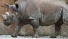 Rinoceronte Negro do Oeste Africano: É o animal mais recentemente extinto desta lista. Em 2011, esta subespécie do rinoceronte desapareceu do centro-oeste africano. Consegue adivinhar o motivo? A caça de predadores.