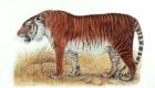 Tigre de Cáspio: É o animal mais recentemente extinto desta lista. Em 2011, esta subespécie do rinoceronte desapareceu do centro-oeste africano. Consegue adivinhar o motivo? A caça de predadores.