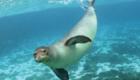 Foca-monge-do-caribe: Mamífero de grandes dimensões – podia ultrapassar os dois metros de comprimento –, habitava o mar do Caribe e era cobiçado por pescadores, graças à sua pele. Foi vista pela última vez há mais de 80 anos.