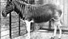 Quagga: Semelhante a uma zebra, se distinguia pelas listras só numa parte do corpo. Habitava a África do Sul e desapareceu por conta da caça. A última foto de uma quagga selvagem foi tirada em 1870 e, em 1883, morreu a última mantida em cativeiro.