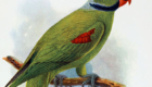 Periquito-de-Seychelles: Extinto no começo do século XX, era, como o nome indica, um papagaio originário das Ilhas Seychelles.