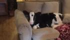Goliath surpreendeu Shaylee ao acomodar-se no sofá