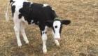 Goliath foi salvo de uma fazenda que abatia gado