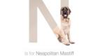 Mastiff Napolitano