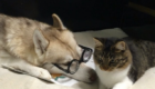Lilo The Husky - Instagram