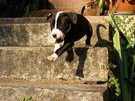 Raça American Pit Bull Terrier