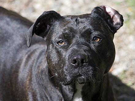 Raça American Staffordshire Terrier - Crédito:  http://www.flickr.com/photos/pitchblack/
