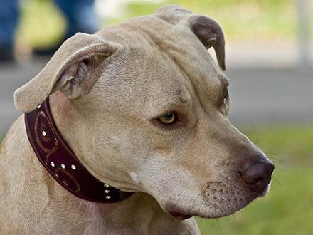 Raça American Staffordshire Terrier - Crédito:  http://www.flickr.com/photos/dzikusiak/