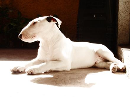 Raça Bull Terrier - Crédito:  http://www.flickr.com/photos/llimaorosa/