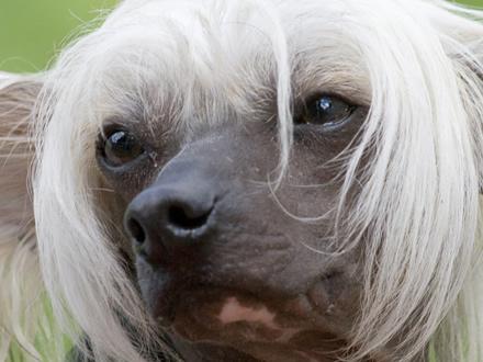 Raça Cão de Crista Chinês - Crédito:  http://www.flickr.com/photos/montanapets/