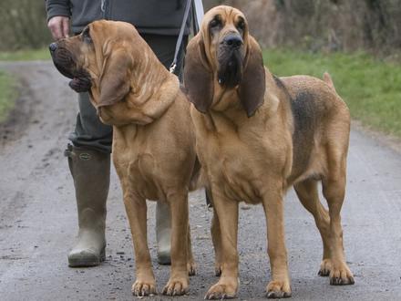 Raça Bloodhound - Crédito:  http://www.flickr.com/photos/sosalem/