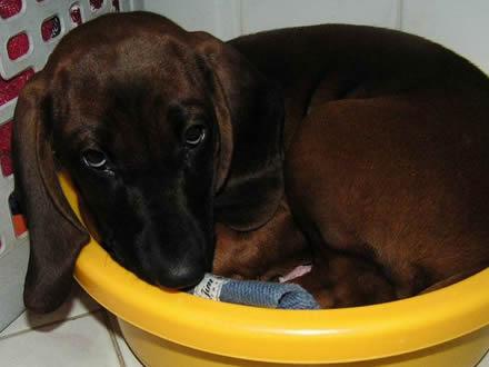 Raça Bloodhound