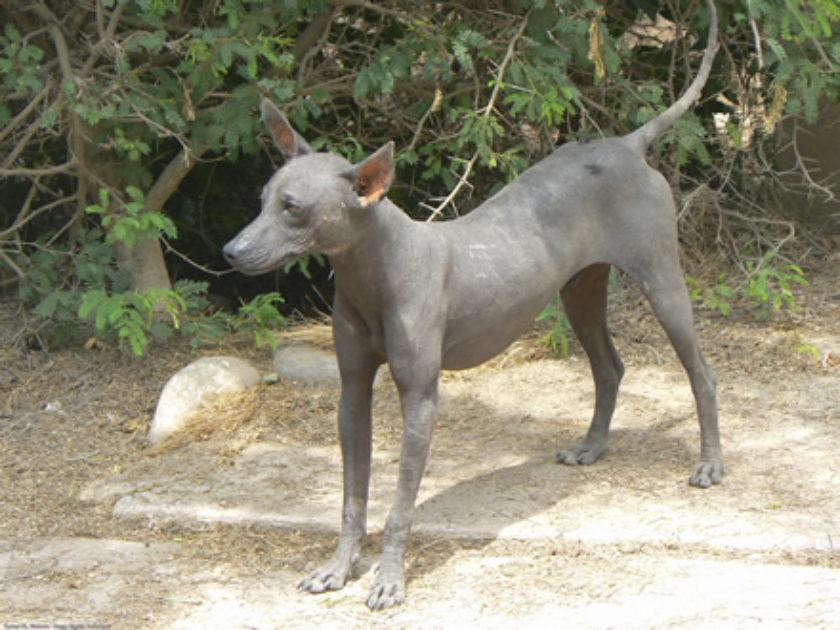 Cão Pelado Peruano Grande
