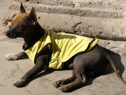 Raça Cão Pelado Peruano Grande
