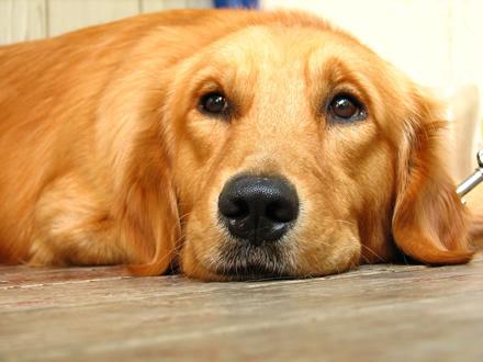 Raça Golden Retriever - Crédito:  http://www.flickr.com/photos/digitalwallpapers/