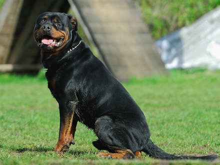 Raça Rottweiler - Crédito:  http://www.flickr.com/photos/jamorim/
