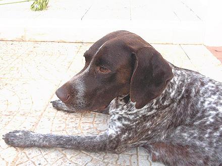 Raça Perdigueiro Português  - Crédito: http://www.flickr.com/photos/foziber/