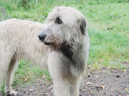 Raça Wolfhound Irlandês - Crédito: http://www.flickr.com/photos/jamehealy/