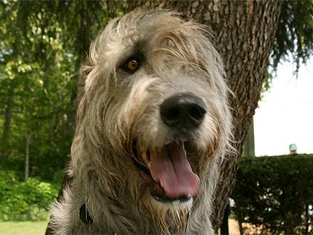 Raça Wolfhound Irlandês - Crédito: http://www.flickr.com/photos/silver_plum_digital/