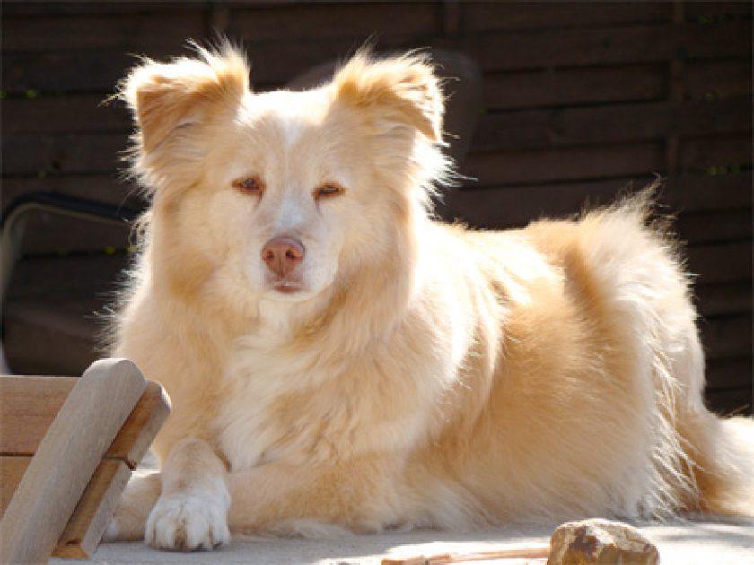 Aidi, Cão do Atlas