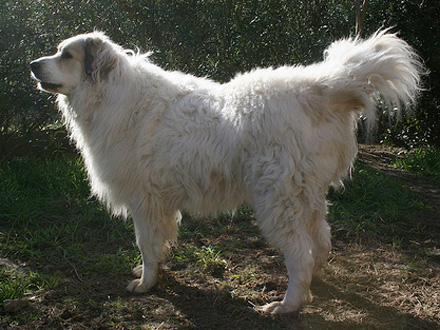 Raça Aidi, Cão do Atlas - Crédito: http://www.flickr.com/photos/igelsmutter/