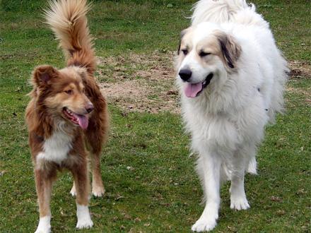 Raça Aidi, Cão do Atlas