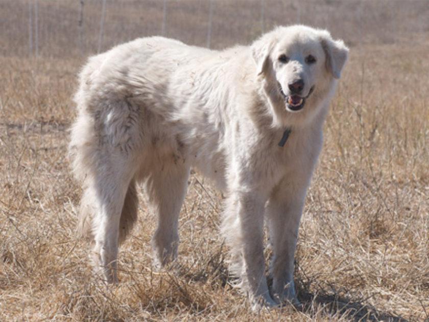 Cão Akbash