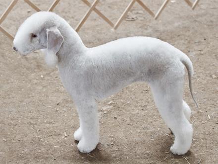 Raça Bedlington Terrier - Crédito: http://www.flickr.com/photos/grannybuttons/