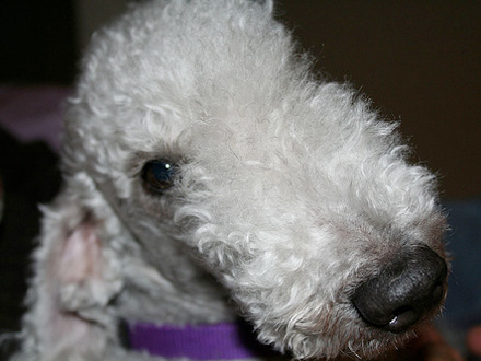 Raça Bedlington Terrier - Crédito: http://www.flickr.com/photos/cloganese/