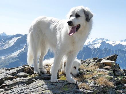 Raça Cão da Montanha dos Pireneus - Crédito: http://www.flickr.com/photos/von-marazzi/