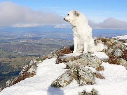 Raça Cão da Montanha dos Pireneus